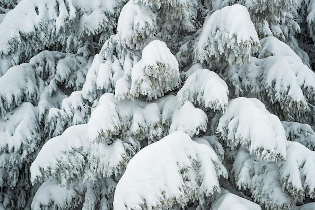 Gros plan, épais, pelucheux, neigeux, sapins