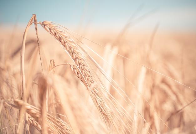 Gros plan sur des épis de blé dans un champ