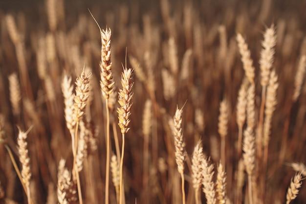 Gros plan des épis de blé mûrs. mise au point sélective.