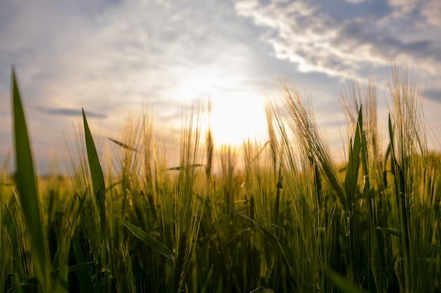 Gros plan des épis de blé vert poussant dans un champ agricole au printemps.