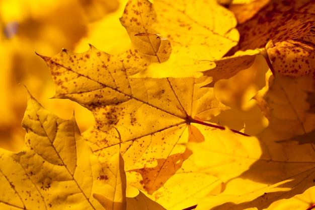 Gros plan sur l'érable en automne