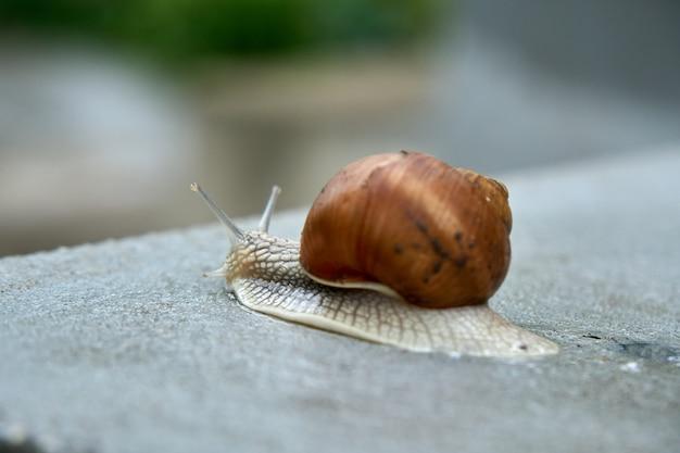 Gros plan sur escargot comestible, escargot romain, escargot de bourgogne, escargot après la pluie sur le béton humide