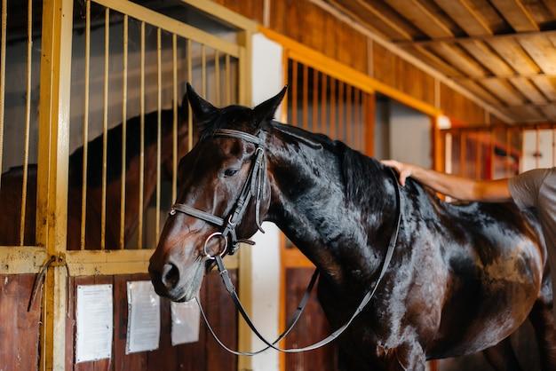 Gros plan étalon pur-sang dans l'écurie du ranch. elevage et élevage de chevaux pur-sang.