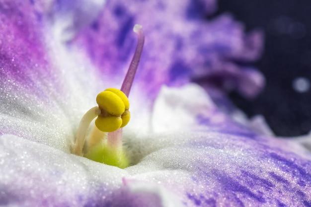 Gros plan d'une étamine et pistil d'une violette pourpre. image abstraite douce d'une belle fleur violette panachée. peut être utilisé comme carte postale, couverture