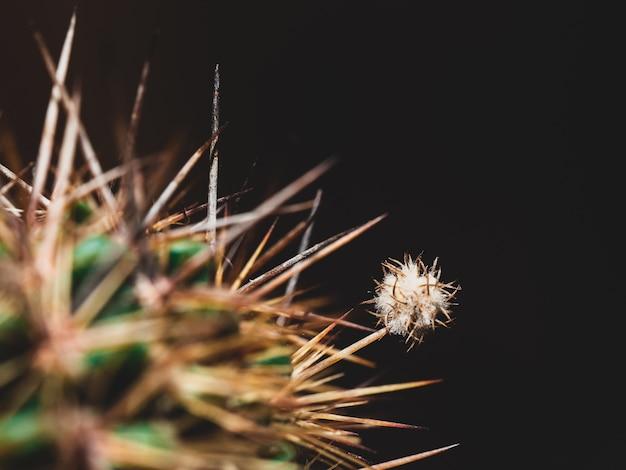 Gros plan extrême d'un duvet de cactus sur une colonne vertébrale sur un fond sombre