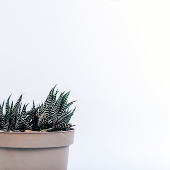 Gros plan, fasciné, haworthia, plante en pot, blanc, fond