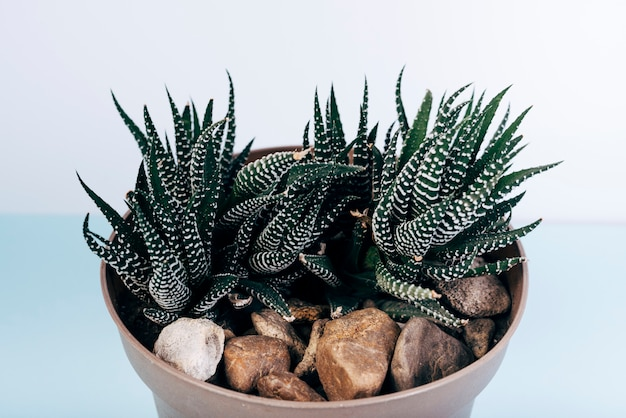 Gros plan, fasciné, haworthia, plantes en pot, table bleue