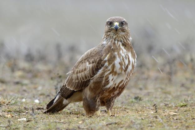 Gros plan d'un faucon brun sur une herbe sèche sur un arrière-plan flou