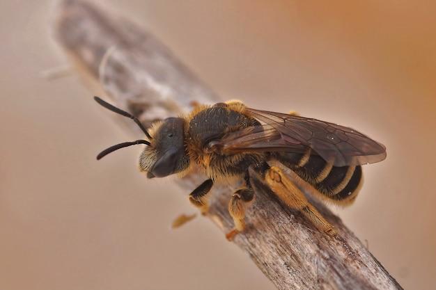 Gros plan d'une femelle halictus quadricincttus perché sur une surface en bois
