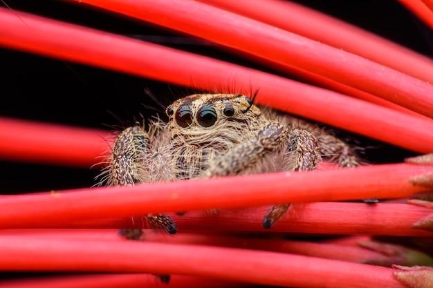 Gros plan femelle hyllus ou araignée sauteuse sur ixora rouge