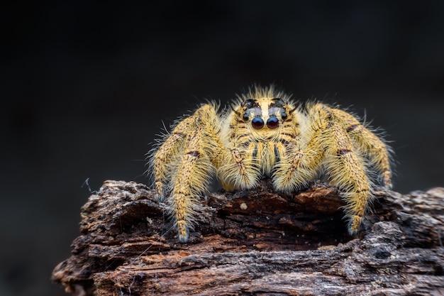 Gros plan femelle hyllus diardi ou araignée sauteuse sur du bois pourri