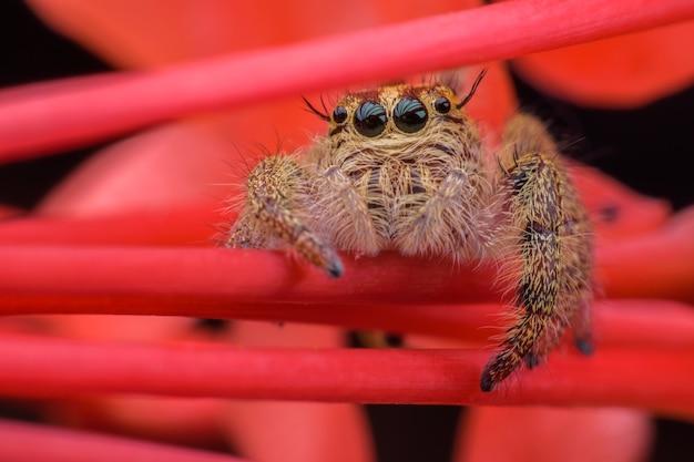 Gros plan femelle hyllus diardi ou araignée sauteuse sur ixora rouge