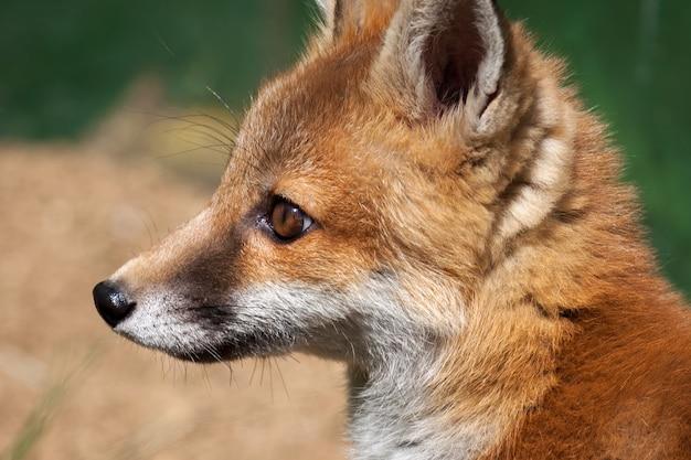 Gros plan d'une femelle renard roux (vulpes vulpes)