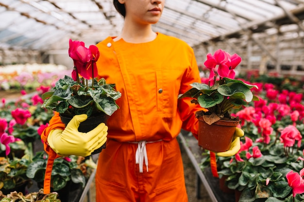 Gros plan, femme, jardinier, tenue, deux, pots de fleurs roses, dans, serre