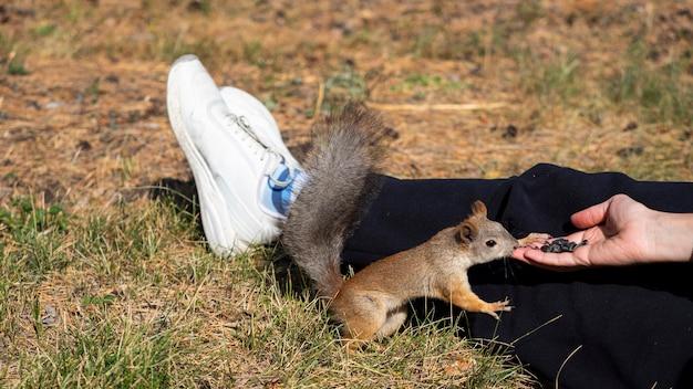 Gros plan - une femme nourrit un écureuil avec des graines de tournesol dans un parc de la ville. format photo 16x9.