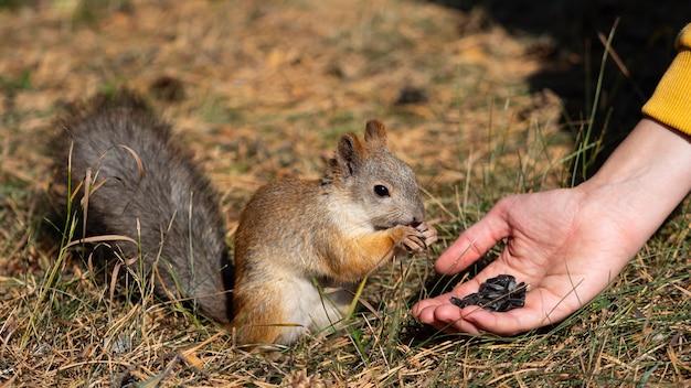 Gros plan - une femme nourrit l'écureuil avec des graines de tournesol. format photo 16x9.