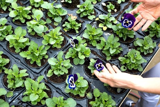 Gros plan, de, a, femme, planter fleurs, dans, a, serre