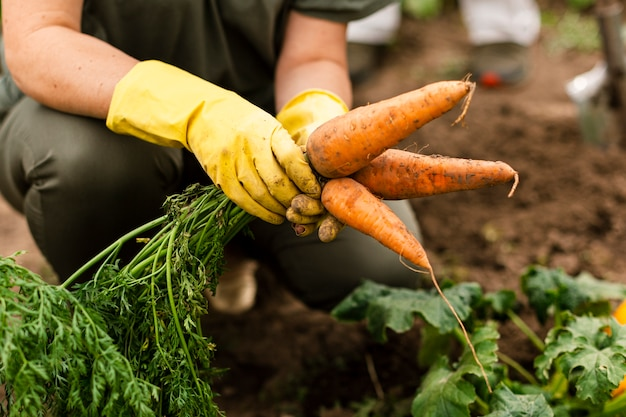Gros plan, femme, récolte, carottes