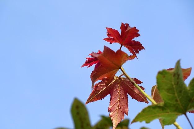 Gros plan sur une feuille d'érable orange et rouge avec des feuilles colorées et un ciel bleu en arrière-plan d'automne