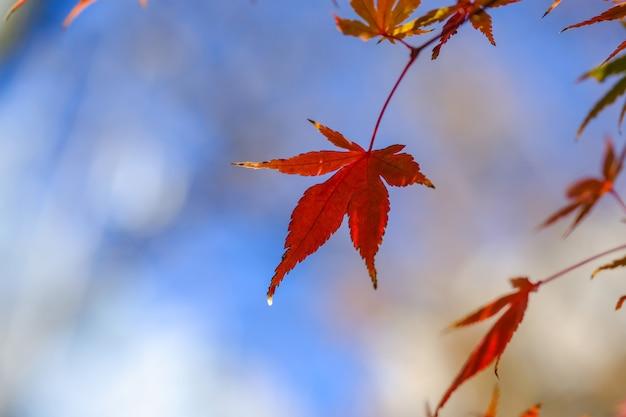 Gros plan d'une feuille d'érable rouge avec un ciel bleu en automne.