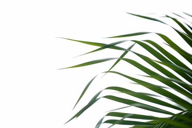 Gros plan de la feuille de palmier nature vert avec une verdure floue sur blanc isolé.