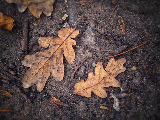 Gros plan sur des feuilles de chêne au sol
