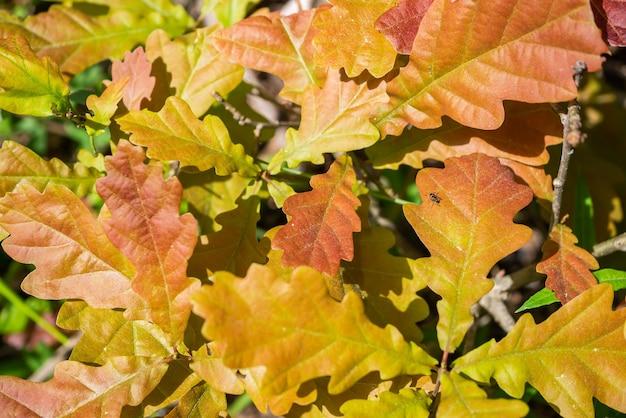 Gros plan des feuilles de chêne d'automne