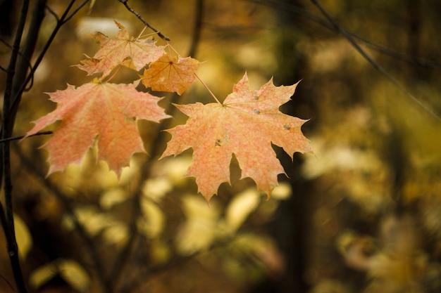 Gros plan des feuilles d'érable rouge-orange