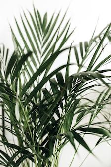 Gros plan de feuilles de palmier sur blanc.