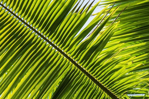 Gros plan des feuilles de palmier nain sous la lumière du soleil avec un arrière-plan flou