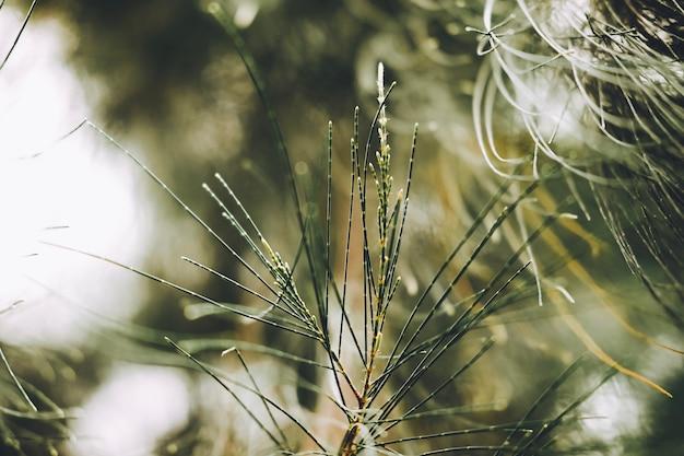 Gros plan de feuilles de pin australien, de bois de boeuf, de bois de fer commun, de faux bois de fer, de faux pin, de chêne des marais du queensland, de chênes de mer, de chênes verts, de bois de boeuf. (casuarina equisetifolia).