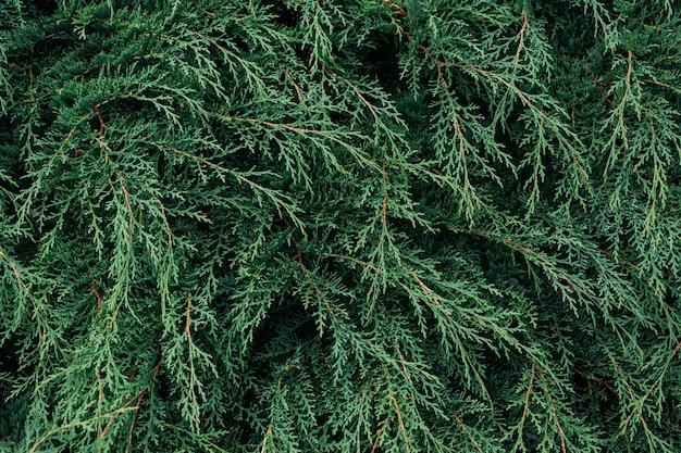 Gros plan des feuilles de pin