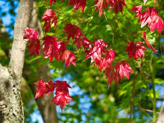 Gros plan de feuilles rouges sur les branches d'arbres avec des arbres