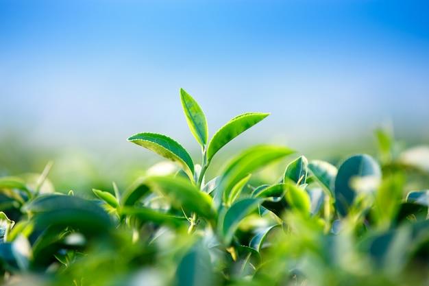 Gros plan de feuilles de thé vert dans une plantation de thé