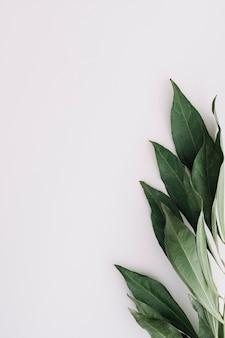 Gros plan de feuilles vertes sur fond blanc