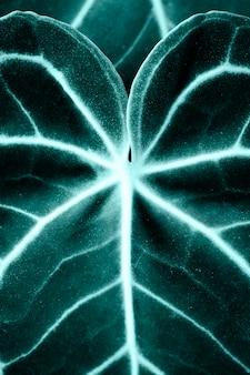 Gros plan des feuilles de xanthosoma