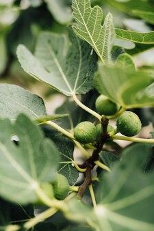 Gros plan des figues vertes sur les branches des arbres
