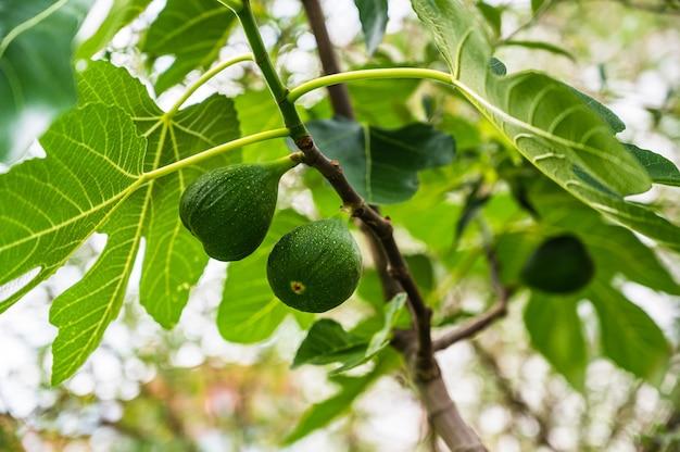 Gros plan de figues vertes suspendues à une branche d'un figuier dans le jardin