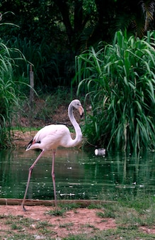 Gros plan, flamant chilien, bord lac