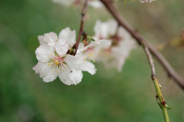 Gros plan fleur d'amandier fantastique avec des gouttes d'eau
