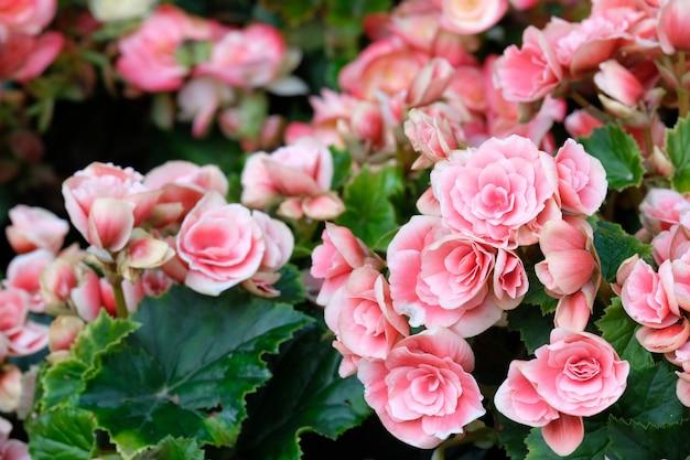 Gros plan d'une fleur de bégonia rose qui fleurit dans le jardin