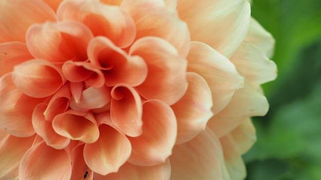 Gros plan sur une fleur de camélia à hokkaido au japon.