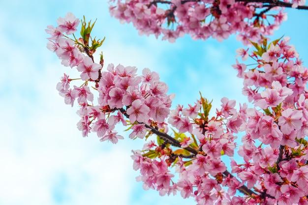 Gros plan, de, fleur cerise rose, branche, ou, sakura, fleurs, sur, ciel bleu, et, nuage, fond,