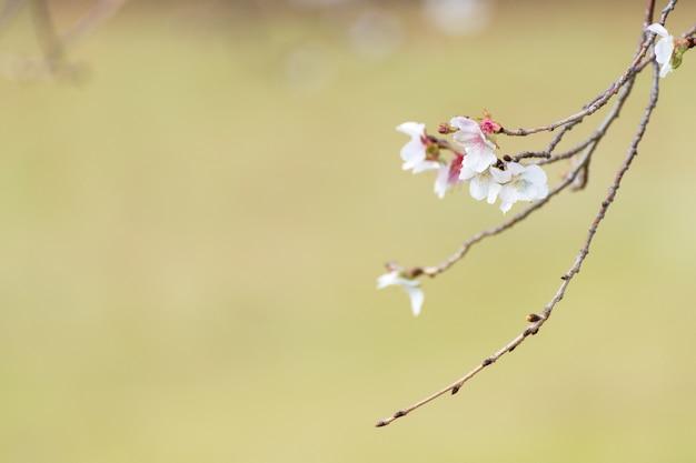Gros plan de fleur de cerisier de printemps avec beau fond de bokeh de fleur de cerisier.