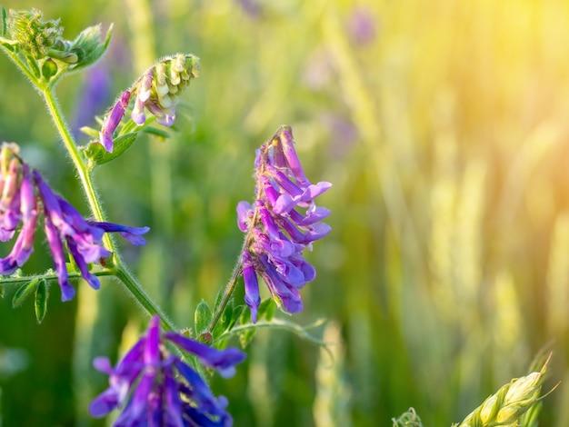 Gros plan d'une fleur de champ vicia cracca avec des pétales violets vifs au coucher du soleil. l'éblouissement du soleil dans le coin du cadre. herbe des mauvaises herbes.
