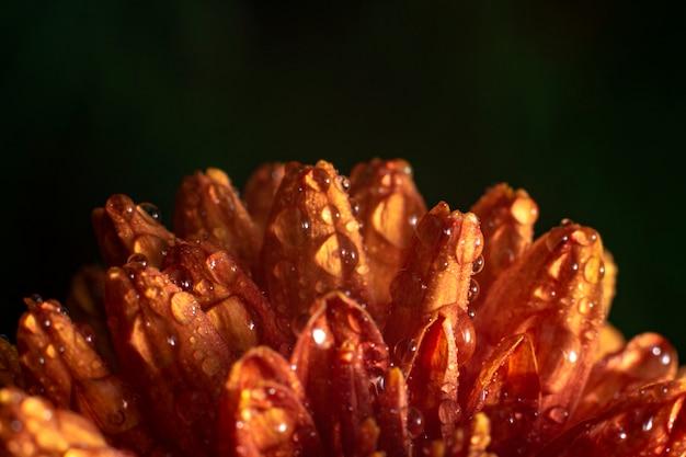 Gros plan de fleur de chrysanthème orange