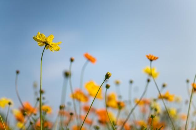 Gros plan de fleur cosmos jaune et orange avec un ciel bleu comme arrière-plan sous la lumière du soleil en utilisant comme arrière-plan le paysage de la flore naturelle, le concept de page de papier peint écologie