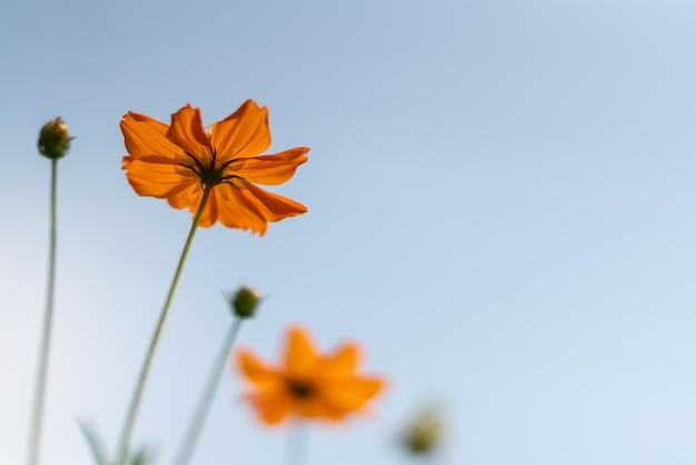 Gros plan de la fleur cosmos orange avec ciel bleu blanc comme arrière-plan sous la lumière du soleil