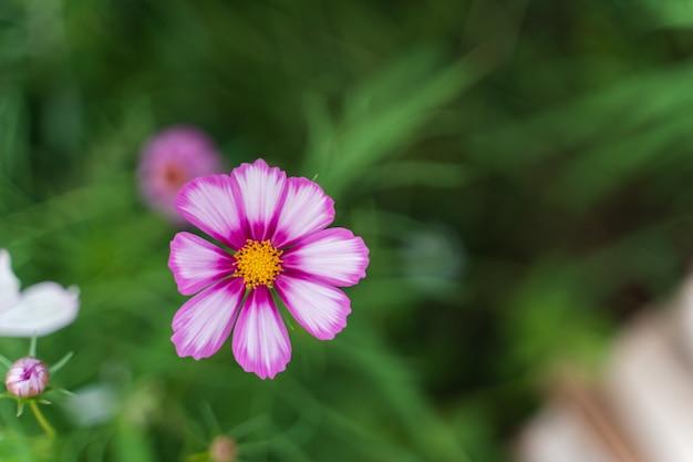 Gros plan d'une fleur cosmos avec des pétales roses