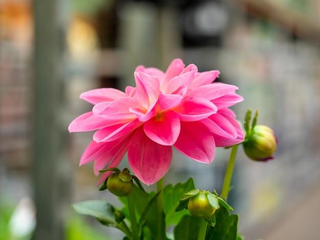 Gros plan d'une fleur de dahlia rose. des plantes pour votre jardin.